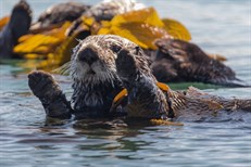 Sea Otters vs Climate Change_thumb.jpg