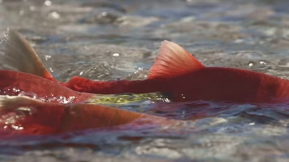 Artifishal: The Fight for Wild Salmon