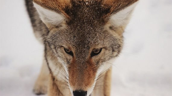 The Coyote: Yellowstone's Underdog & The Beast of Our Time