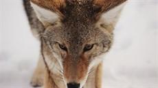 coyote2_thumb.jpg