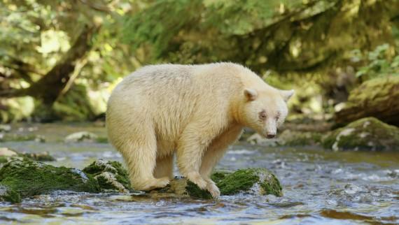 Great Bear Rainforest + l'Orchestre d'Hibernation Animaux