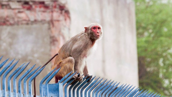 Predicting Pandemics: Kawgun Cave + Monkey Menace