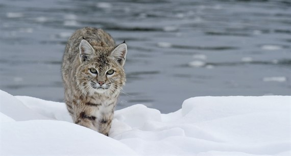 Epic Yellowstone: A Winter Hunt