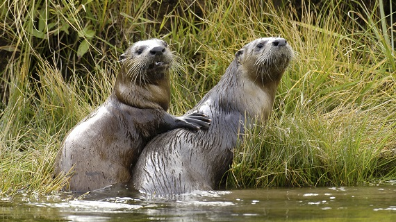 Otters: River Masters of Yellowstone